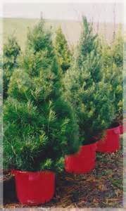 09-Potted-Christmas-Tree