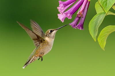 hummingbird pollinating