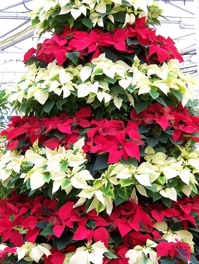 poinsettias-17702_960_720