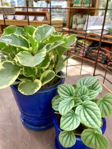 Two potted peperomia plants