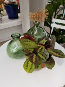 Prayer Plant houseplant on table.