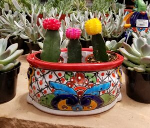 Grafted Cactus in colorful pot