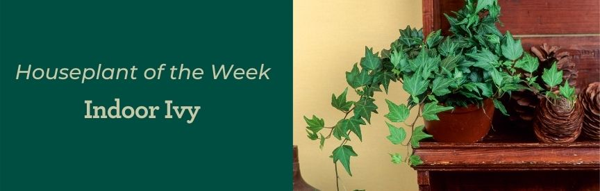 Ivy houseplant positioned on a wooden shelf