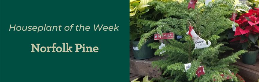 Houseplant of the Week Norfolk Pine